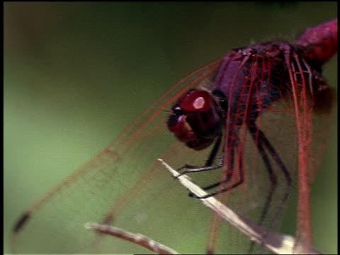 vidéos et rushes de a dragonfly lands on a plant, then takes off. - brindille
