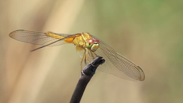 dragonfly looking at camera slow motion - dragonfly stock videos & royalty-free footage