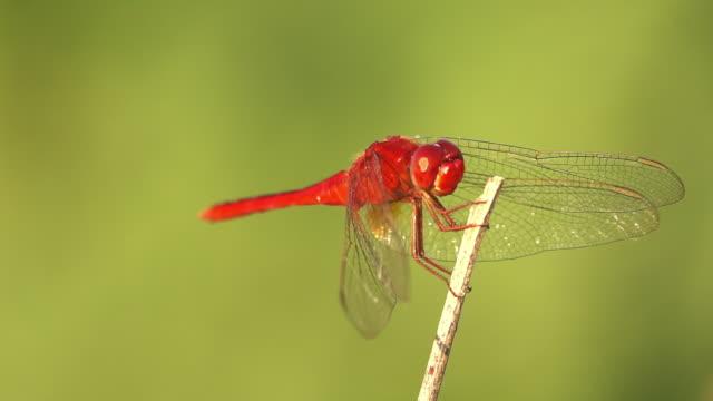vídeos de stock, filmes e b-roll de libélula, olhando para a câmera lenta - parte do corpo animal