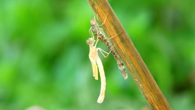vídeos de stock, filmes e b-roll de metamorfose dragonfly - ilhas mascarene