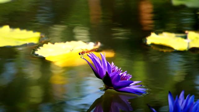 Dragonfly on a purple water lily