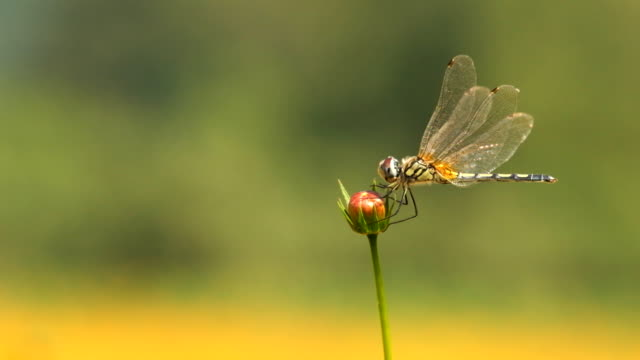 dragonfly on the cosmos flower in the garden - dragonfly stock videos & royalty-free footage