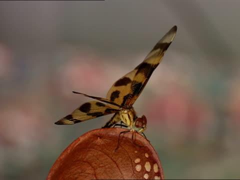 cu, selective focus, dragonfly on top of hooded pitcher plant, okefenokee swamp, georgia/florida, usa - オケフェノキー国立野生生物保護区点の映像素材/bロール