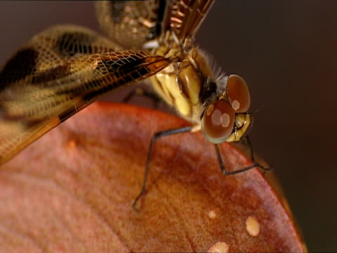 ecu, soft focus, dragonfly on top of hooded pitcher plant, okefenokee swamp, georgia/florida, usa - okefenokee national wildlife refuge stock videos and b-roll footage