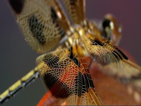 ecu, soft focus, dragonfly on top of hooded pitcher plant, okefenokee swamp, georgia/florida, usa - オケフェノキー国立野生生物保護区点の映像素材/bロール