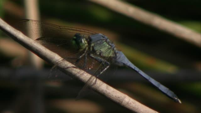 CU Dragonfly on twig / Florida, USA