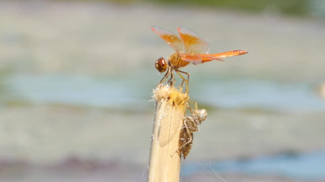 dragonfly on twig - twig stock videos & royalty-free footage