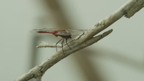dragonfly (either rhodopygia or erythemis species) perched on twig feeds on insect. - insect stock videos & royalty-free footage