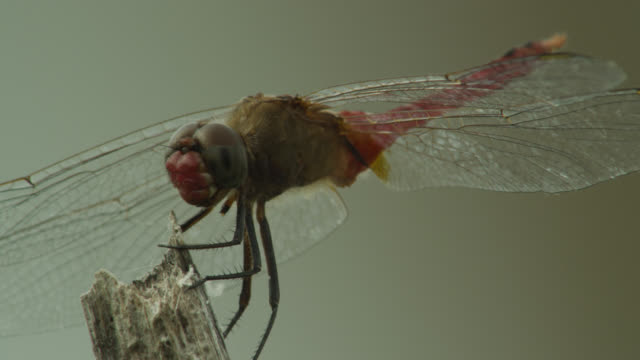 Dragonfly (either Rhodopygia or Erythemis species) perched on twig, takes off then lands again.