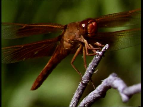 cu dragonfly perched on twig, usa - twig stock videos & royalty-free footage