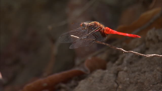dragonfly perched on twig. - twig stock videos & royalty-free footage