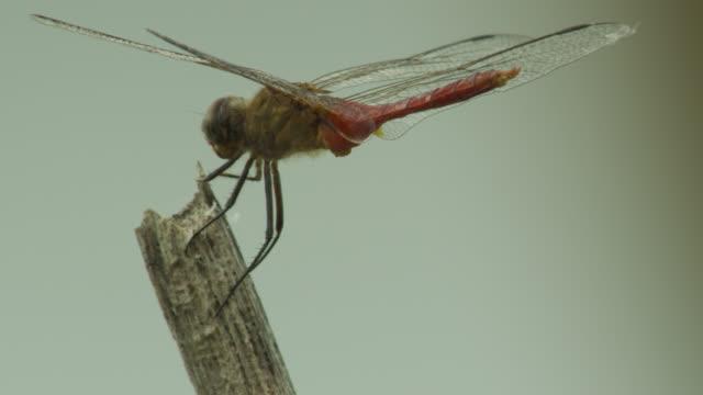 Dragonfly (either Rhodopygia or Erythemis species) perched on twig.