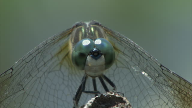 a dragonfly perches on a stem the flies away. - dragonfly stock videos & royalty-free footage