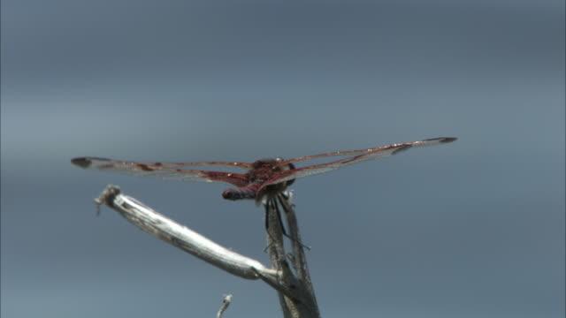 a dragonfly perches on a stick, flies away, and lands again. - gliedmaßen körperteile stock-videos und b-roll-filmmaterial