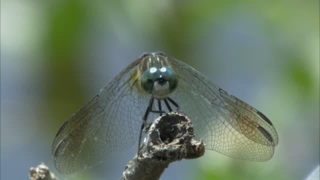 a dragonfly perches on a stick. - gliedmaßen körperteile stock-videos und b-roll-filmmaterial