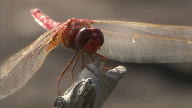 a dragonfly perches on a twig. - twig stock videos & royalty-free footage