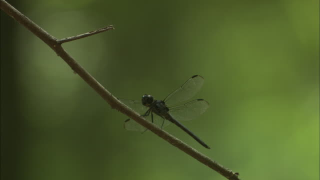 a dragonfly perches on a twig. - gliedmaßen körperteile stock-videos und b-roll-filmmaterial