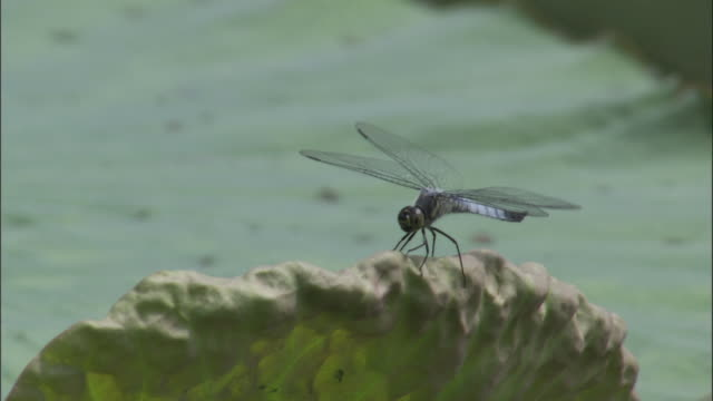 Dragonfly perches on edge of water lily leaf, Beijing.