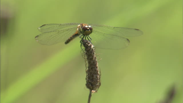 a dragonfly perches on the tip of a blade of grass. - blade of grass stock videos & royalty-free footage