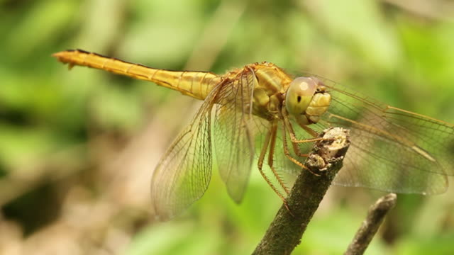 dragonfly perches on twig. - twig stock videos & royalty-free footage