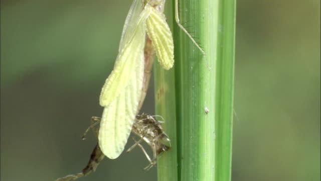 a dragonfly sheds its exoskeleton as it crawls along a stem. - exoskeleton stock videos & royalty-free footage