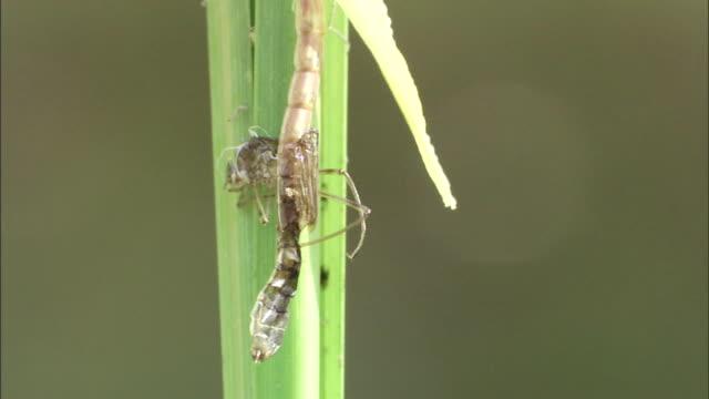 a dragonfly sheds its exoskeleton. - exoskeleton stock videos & royalty-free footage