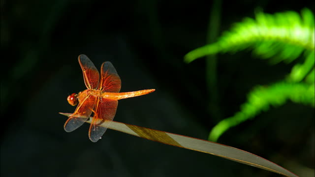 a dragonfly sits on a long blade of grass. - blade of grass点の映像素材/bロール