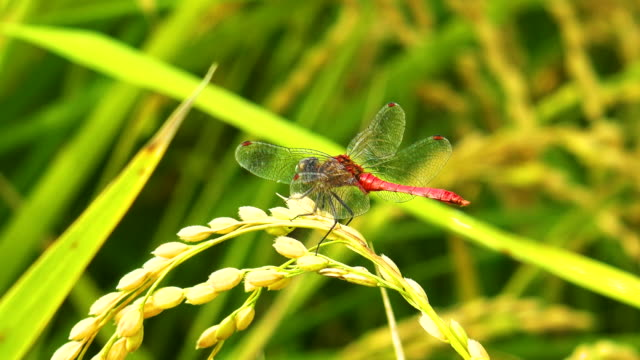 a dragonfly sitting on the ear of rice - モミ点の映像素材/bロール