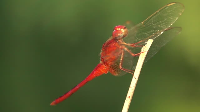 dragonfly standing on a branch slow motion - dragonfly stock videos & royalty-free footage