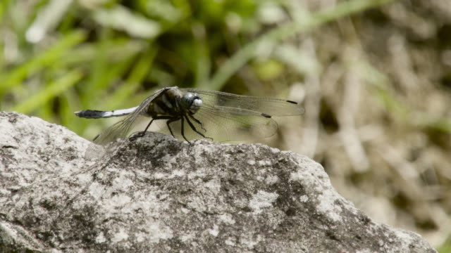 dragonfly takes off, japan. - dragonfly stock videos & royalty-free footage