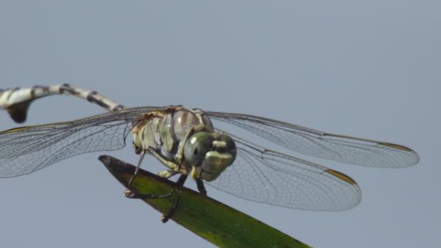 vidéos et rushes de libellule (réserve naturelle d'astrakhan) - aile d'animal