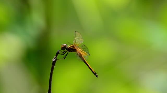 dragonfly - liten djurflock bildbanksvideor och videomaterial från bakom kulisserna