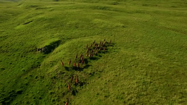 dramatic aerial shot of a herd of deer running across grass in the scottish highlands - deer stock videos & royalty-free footage