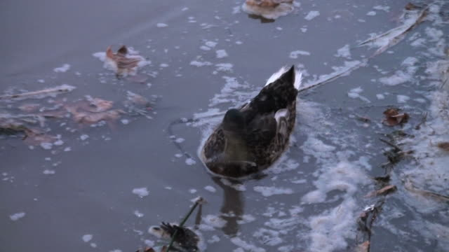 dramatic cohabitation and adaptation of a duck in polluted waters - oil spill stock videos & royalty-free footage