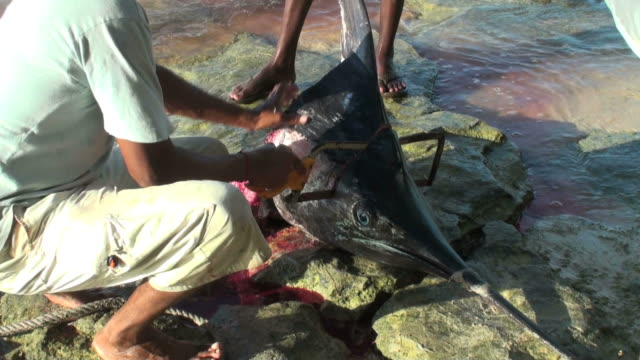 Espectacular vivir reportage de la pesca pirata episodio (marlin disección