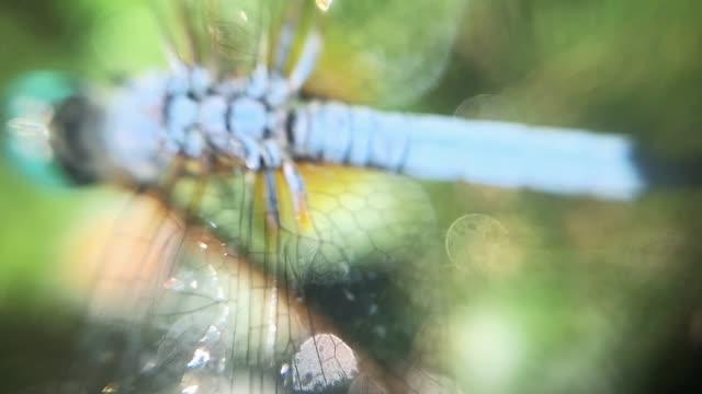 stockvideo's en b-roll-footage met drangonfly - dierenvleugel
