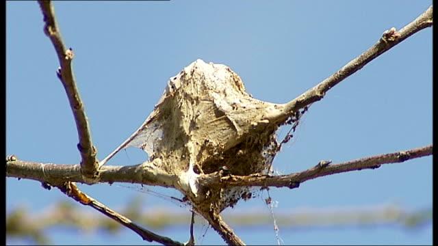 drastic measures to counter oak processionary moth caterpillar invasion t12071256 / london ext various of oak processionary moth caterpillars... - skadedjursangrepp bildbanksvideor och videomaterial från bakom kulisserna