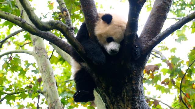 vidéos et rushes de vous rêvez de panda - panda