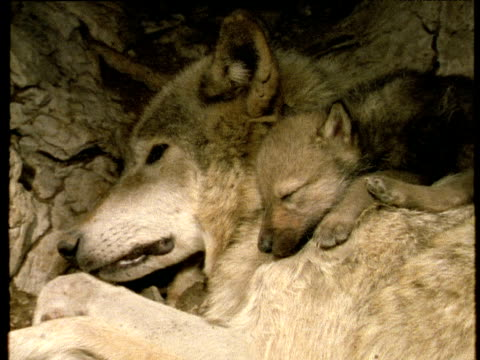 dreaming wolf cub lying on adult in den, both asleep - sdraiato video stock e b–roll