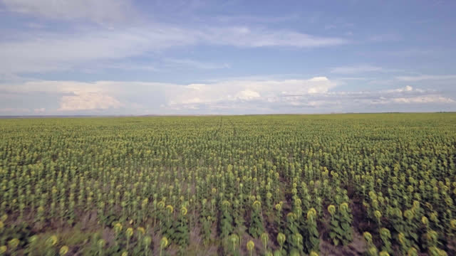 drone. dreamlike aerial view flying over majestic field of endless sunflowers - south dakota stock videos & royalty-free footage