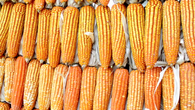 Dried corn in the farm