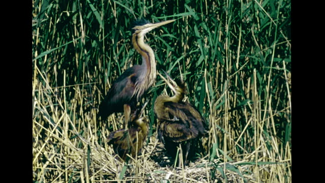 vídeos de stock, filmes e b-roll de dried cracked land angled ws marsh vs purple heron adult w/ three chicks in nest adult flying away ls empty heron nest migration vs birds in flight... - pilrito