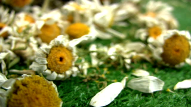 dried daisy - dead plant stock videos & royalty-free footage