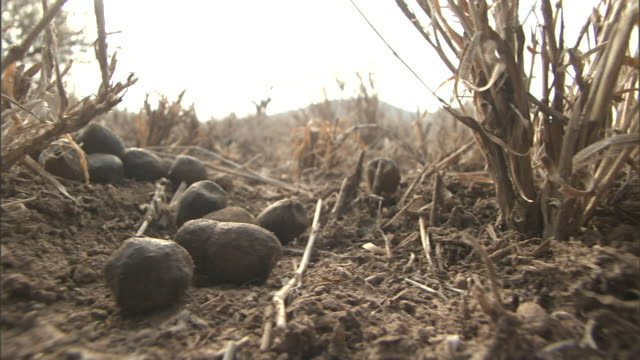 dried gourds cover the ground where a beetle scampers through long, dry stalks. - zucca legenaria video stock e b–roll
