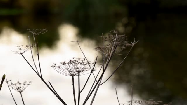 Dried seed heads by the Lake. Plouneour Menez.