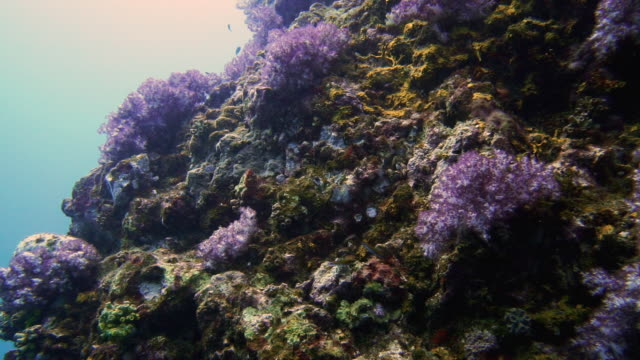 Drift dive over healthy coral reef containing Purple Alcyonarian soft coral