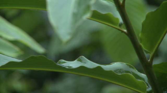 drip tip of leaf in jungle, danum valley, sabah, malaysia, borneo - wet stock videos & royalty-free footage