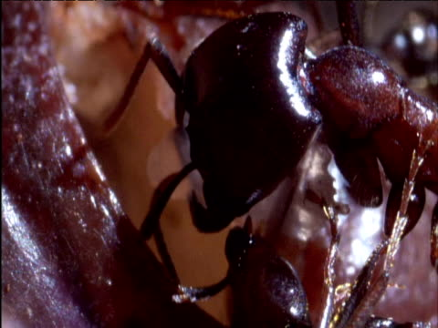 Driver ant rips chunk of muscle from freshwater crab's leg joint East Africa