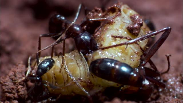 vidéos et rushes de driver ants (dorylus molestus) ants attack carabidae beetle larva. - groupe moyen d'animaux