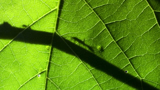 stockvideo's en b-roll-footage met driver ants (dorylus molestus) ants walk along twig silhouetted behind green leaf. - back lit